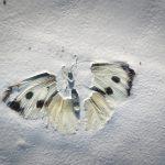 Un papillon est resté collé dans la peinture fraîche. Des prédateurs se sont chargés de dévorer son corps. Il reste ses ailes quasi intactes, une antenne et l'empreinte du corps.